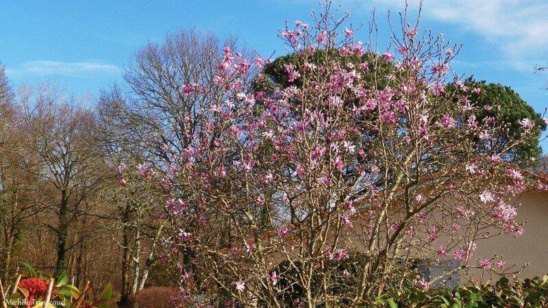 Magnolia étoilé 260216
