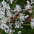L'Oedémère ochracé (Oedemera podagrariae) (M)