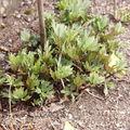 2009 04 03 Rudbeckia Herbstonne