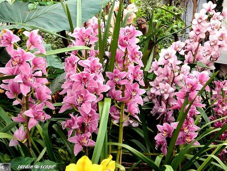 Cymbidium_Lillian_Stewart
