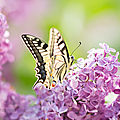 papillon-machaon01