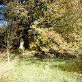le grand chêne sur l'étang