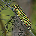 chenille_machaon_2