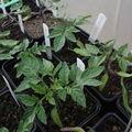 2009 04 25 Jeunes plants de tomates en godets sous serre