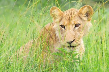 Jeune_lion__parc_de_Queen_Elizabeth__Ouganda__1_