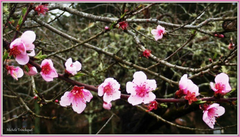 Fleurs de Pêcher 3103152