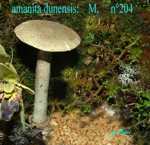 amanita_dunensis__n_204