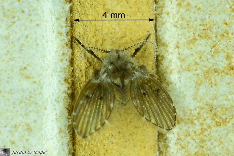 Clogmia albipunctatus
