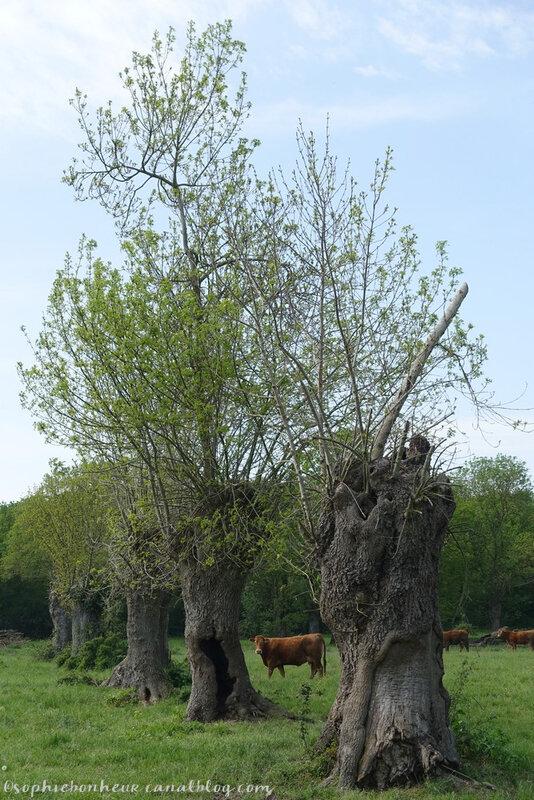 avril fin vache