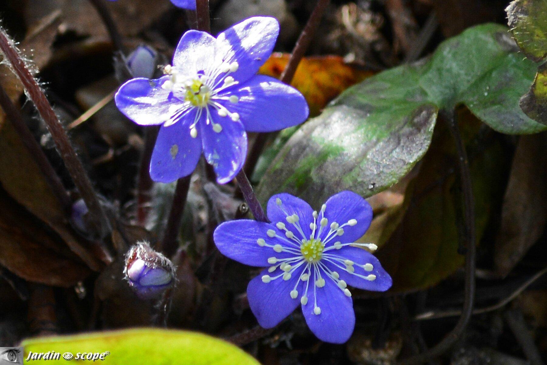 Fleur De Sous Bois Bleue les petites fleurs de l'hépatique éclairent un coin d'ombre