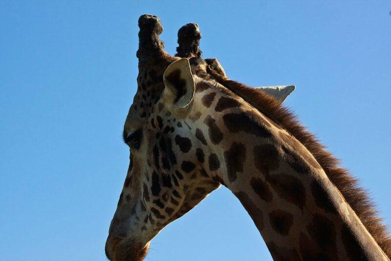 18-Girafe