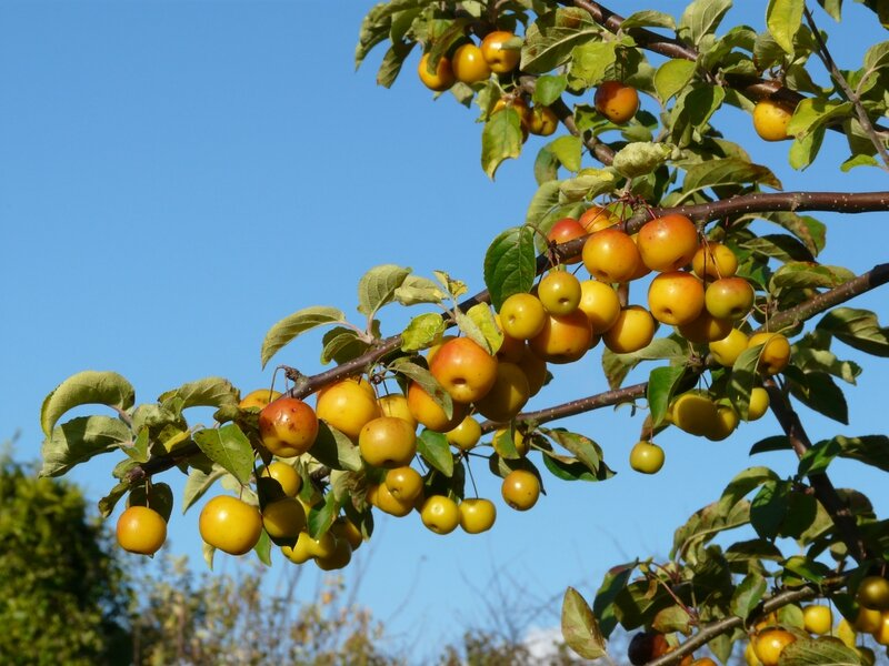 Malus Golden hornet (4)