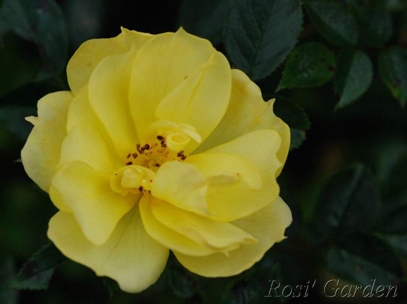 Rosa 'Gwent'