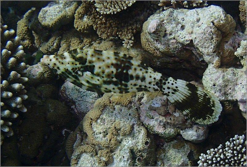 poisson lime gribouillé (Copier)