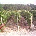les vignes de grand-puy-lacoste