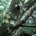 Pin Napoléon • Pinus bungeana • Famille des Pinaceae