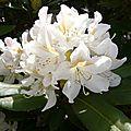 Rhododendron mai 2013