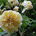 Rosa 'celine forestier'