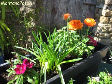 Jardini_re_Montana_printemps_2011_2