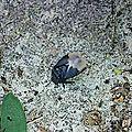 Punaise de l'Euphorbe • Cydnus aterrimus • Famille des Cydnidae