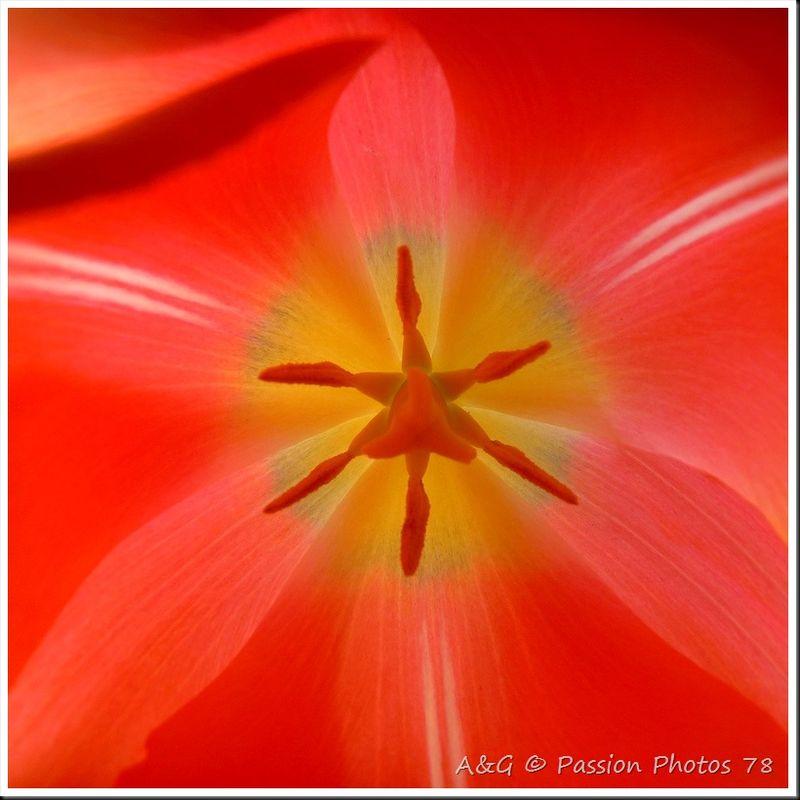 Coeur d'une tulipe
