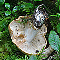 Cortinarius sp (2)