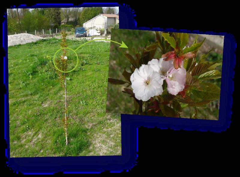 jeune prunus en fleurs