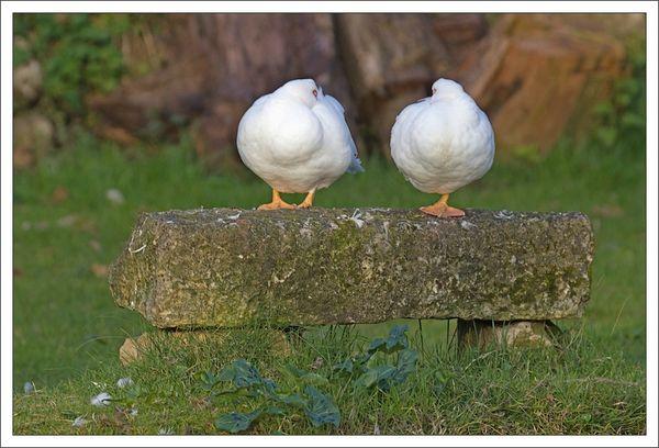 ville lulu canards blancs 030313
