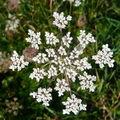 Fleurs du marais breton