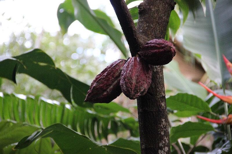 cabasses de cacao (Copier)