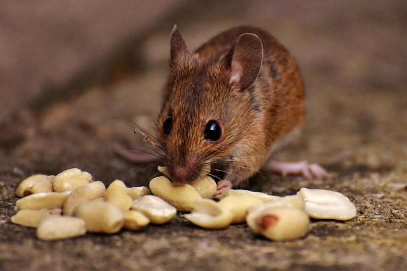 wood-mouse-3082871_1920