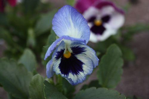 2009 07 04 Une Fleur De Pensee Qui S Ouvre Photo De W Mon Jardin