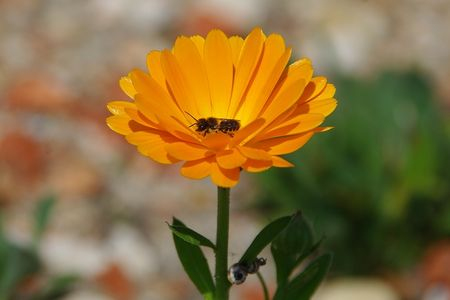 Bee_foraging_on_Calendula__2_