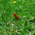 un Cardinal