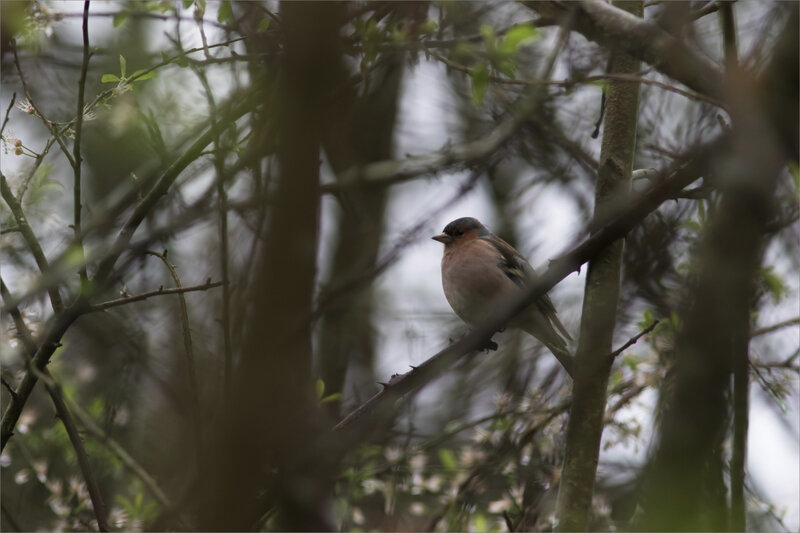 Oiseau pinson branchage 050320
