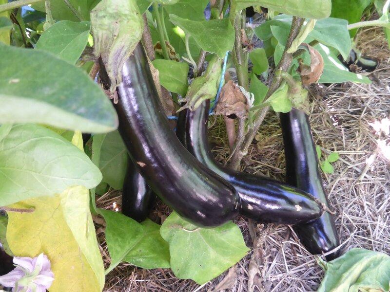 7-aubergines