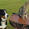 bouvier bernois chat