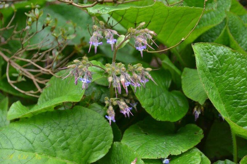 079VAL_1196-Bourrache du Caucase-Trachystemon orientalis