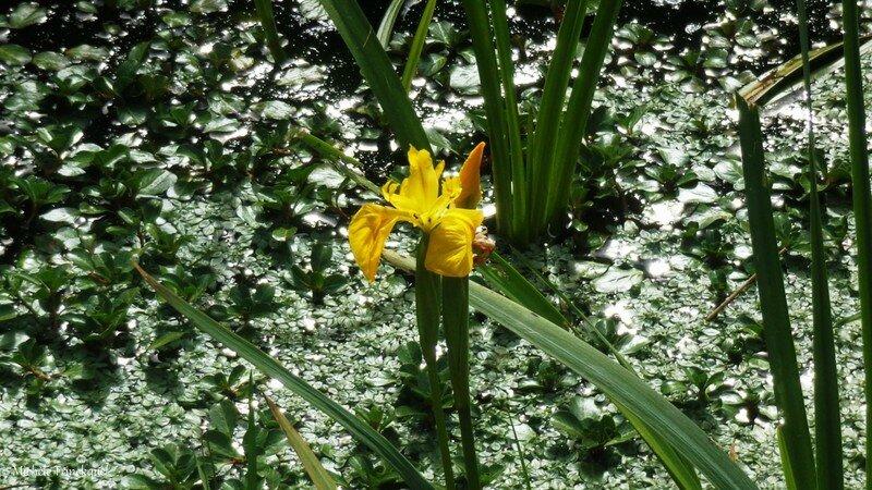 Iris aquatiques 28041610