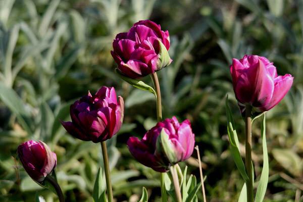 tulipeb