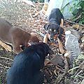Claudy 1- Chienne et ses 6 chiots largués dans la forêt tropicale sur les flancs de la soufrière 2