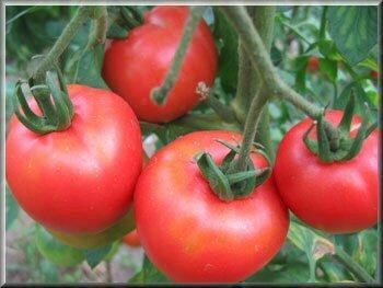 17 - tomate rose de berne - www.passionpotager.canalblog.com