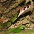 Rhabdophis nigrocinctus_Khao Yai_XRu