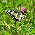 Papilio machaon<<(papilionidae)
