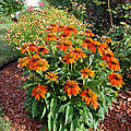 Echinacea Adobe Orange