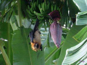 roussette__bananier_et_gecko
