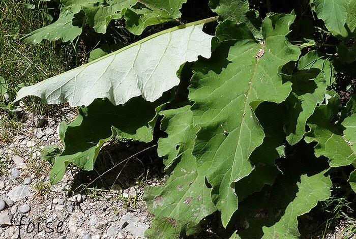 feuilles inférieures très amples ovales cordées sinuées-dentées