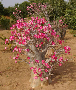 adenium_baobab