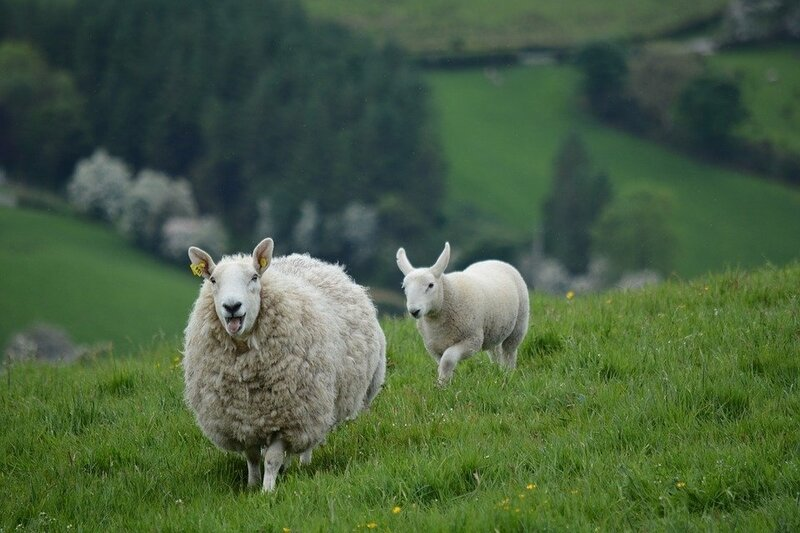 moutons nature-2396309_960_720