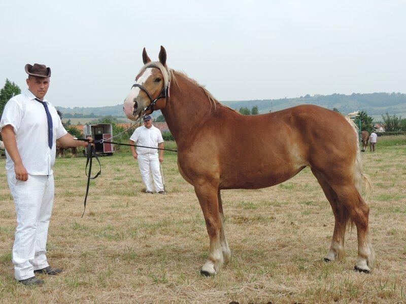 Elia du Marais - 20 Juin 207 - Concours élevage local - Bonningues les Ardres (62) - 4e (3 ans)